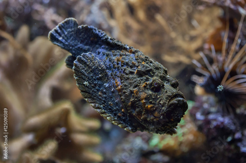 Poster Sous-marin Reef stonefish (Synanceia verrucosa).