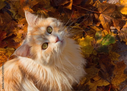 Keuken foto achterwand Kat Maine Coon cat sitting on colourful autumn leaves