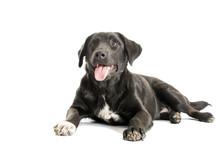 Adult Black Dog On A White Background