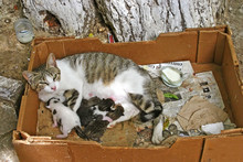 Mother Cat Suckling Kittens Under A Tree In The Ancient Medina O