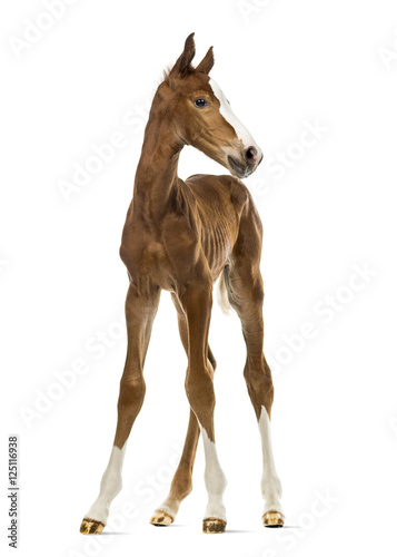 Murais de parede Front view of a foal isolated on white