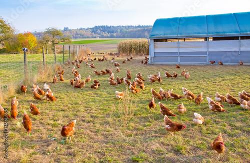 Keuken foto achterwand Kip Glückliche Hühner in artgerechter Freilandhaltung