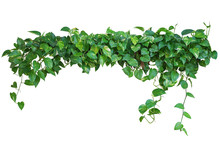 Heart Shaped Green Leaves Vine...