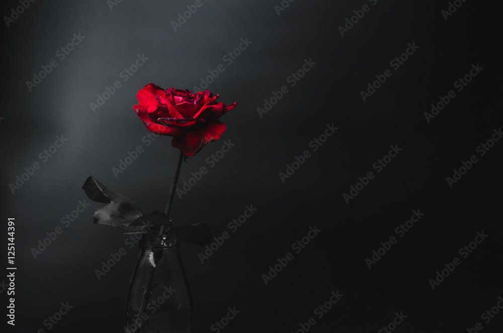 Red rose on dark tone over black and white background. Low key p
