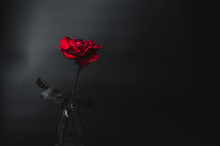 Red Rose On Dark Tone Over Bla...