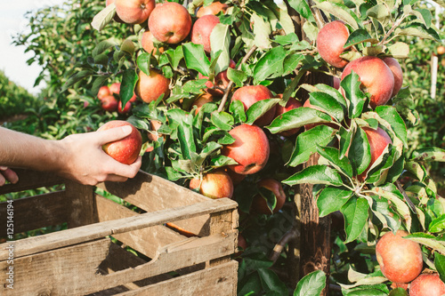 Fotografie, Obraz  Äpfel sammeln
