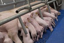 Lactation. Piglets Nursing In Stable. Suckling Pigs. Farming Netherlands