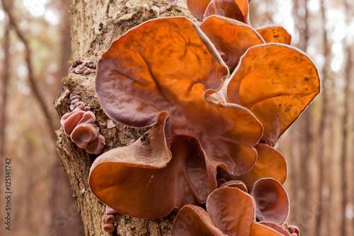 Jews Ear fungus Auricularia auricula-judae on wood Wallpaper Mural
