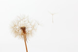 dandelion and its flying seeds on a white background - 125167710
