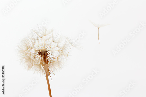 Poster Pissenlit dandelion and its flying seeds on a white background