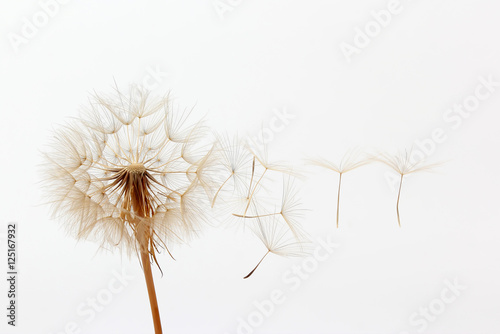 Stickers pour porte Pissenlit dandelion and its flying seeds on a white background