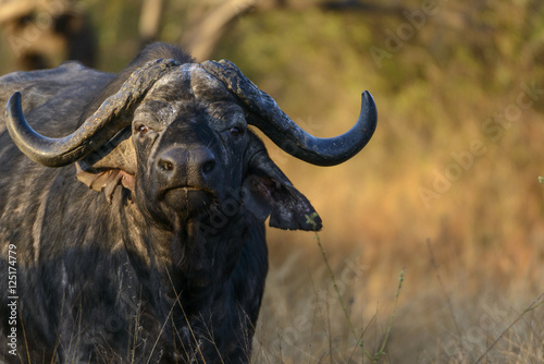 African buffalo or Cape buffalo (Syncerus caffer). Kruger National Park. Mpumalanga. South Africa.
