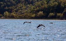 Four Cormorant Flying Over Water, Sparkling In The Sun. Skadar Lake, Montenegro