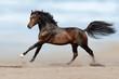 Beautiful horse run gallop in sandy field
