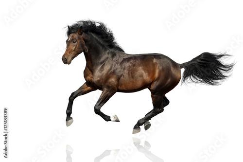 Fotografija Bay horse run gallop  isolated on white background