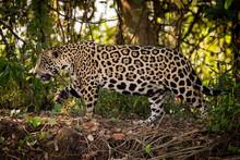 Jaguar Walks Right To Left Through Undergrowth