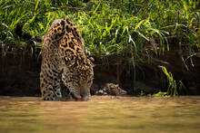 Jaguar Drinking From Muddy Riv...