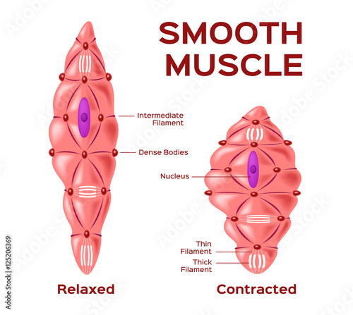 Smooth Muscle Cell Vector Anatomy Relaxed And Contracted Muscle Cell Buy This Stock Vector And Explore Similar Vectors At Adobe Stock Adobe Stock