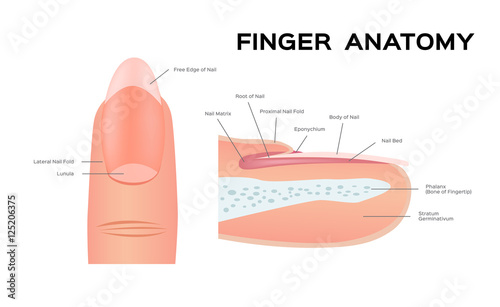 Tableau sur Toile Structure of a Nail. human Nail . anatomy