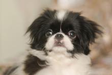 Puppy Japanese Chin
