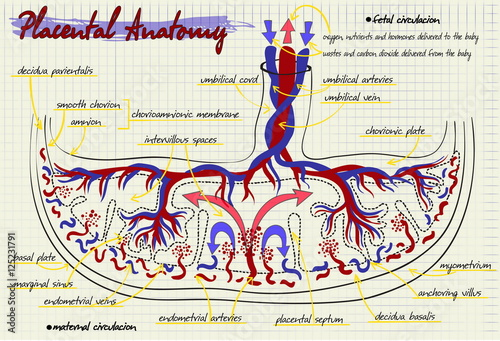 Photo  diagram of the structure of human placenta