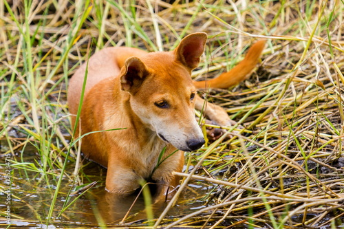 Photo  The dhole is a canid native to Central, South and Southeast Asia