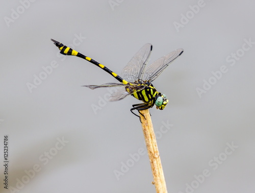 The golden-ringed dragonfly is a striking specimen with an elongated black and yellow striped abdomen. This species is widespread but these were photographed near