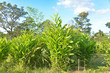 Green agriculture with blue sky.