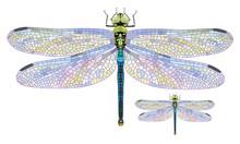 Dragonfly Aeschna Viridls With...