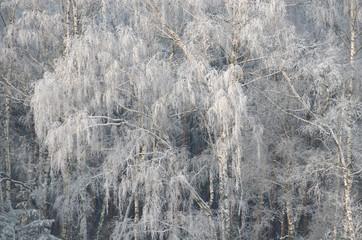 Fototapeta Inspiracje na zimę Białe drzewa