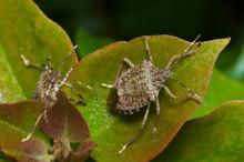 Brown Marmorated Stink Bug (Halyomorpha Halys) Agricultural Pest – Italian Cimice Asiatica