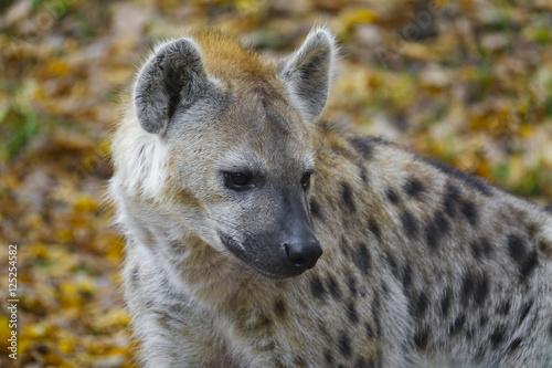 Poster Hyène Crocuta crocuta - Spotted Hyena
