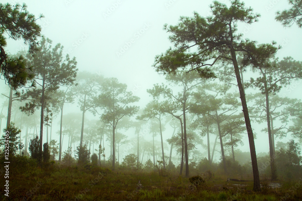 Fototapeta Foggy forest and Forested mountain slope in low lying cloud - obraz na płótnie