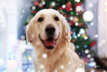 Cute Dog On Blurred Christmas ...