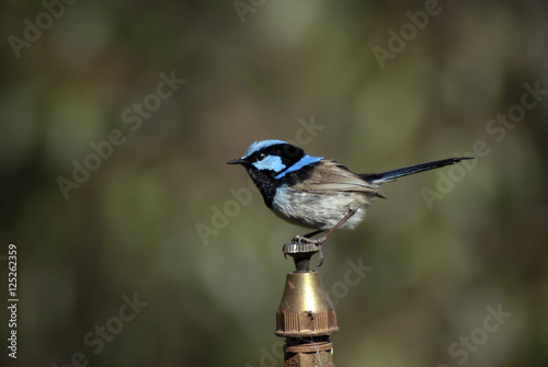 Fotografie, Obraz  male superb fairy wren perched on top of a water sprinkler head
