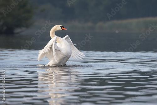 Mute Swan, Swans, Cygnus olor