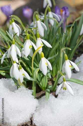 Fototapety, obrazy: Snowdrops Voronova (lat.Galanthus woronowii) in snow