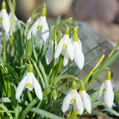 Fototapety, obrazy: Snowdrops Voronova (lat.Galanthus woronowii) closeup