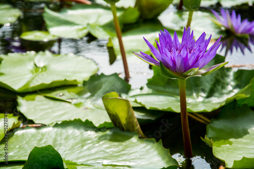 Foto  Lotus bloom in the pond during the day
