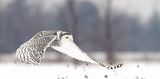 Snowy owl hunting over an open snowy field - 125271784