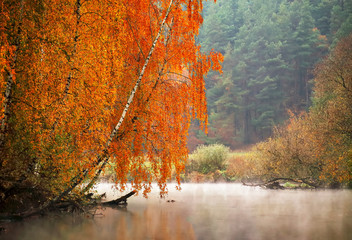 Fototapeta Do biura Autumn misty morning on the river. Yellow birch trees
