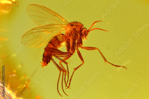 Stampa su Tela fungus gnat (mycetophilidae) imprisoned in baltic amber