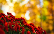 Red Flower Mums