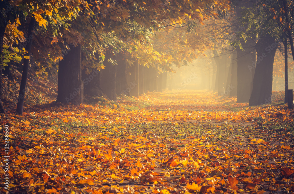 Fototapety, obrazy: Autumn colorful tree alley in the park on a sunny day in Krakow, Poland