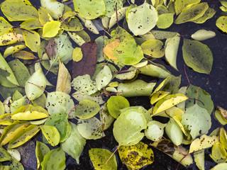 fallen yellow autumn leaves