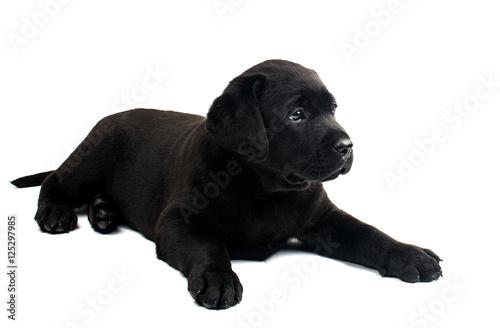 Poster Puma Black Labrador
