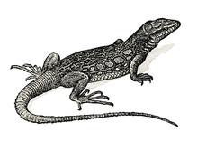 Vintage Animal Engraving / Dra...