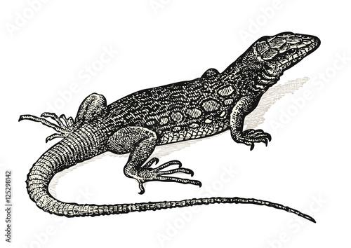Photographie  vintage animal engraving / drawing: lizard - retro vector design element