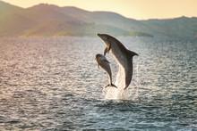 Doplhin Jumping Near Coast In Croatia