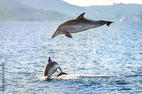 Obraz na plátne Doplhin jumping near coast in Croatia